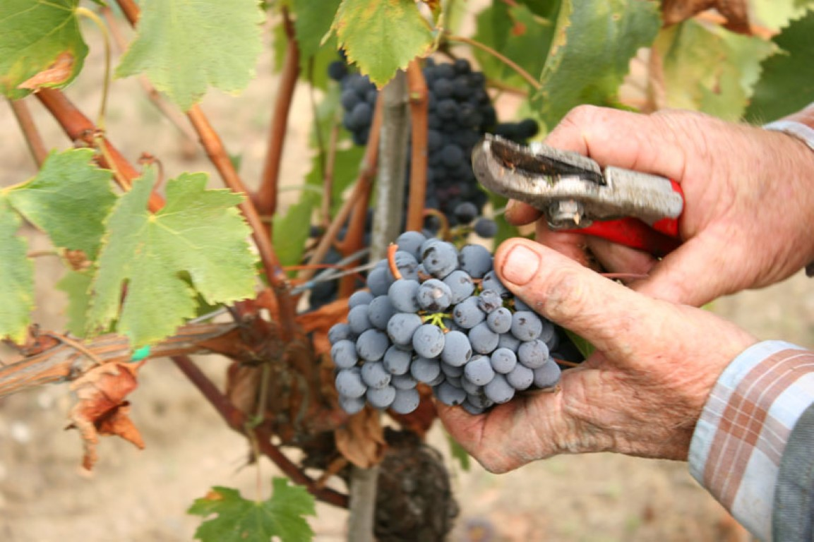 Grape harvest time vendemmia feast all around Tuscany