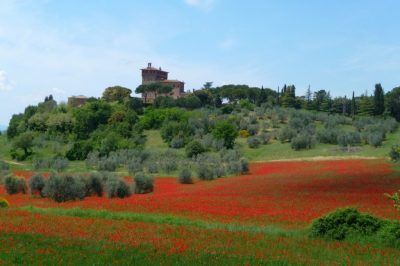 Poppies spring in tuscany